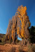 Autumn (fall) landscape with colorful poplar trees, South Africa