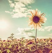 pic of sunflower-seed  - One sunflower rising above the rest - JPG