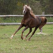 Gorgeous Arabian Stallion With Long Flying Mane