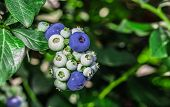 Постер, плакат: A Lot Of Many Blueberries
