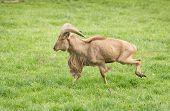 foto of north sudan  - Ram of Barbary sheep breed running on grass - JPG