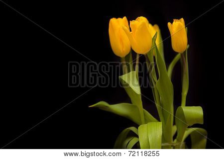 Yellow tulips on a dark background poster