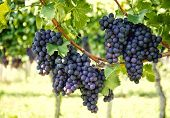 foto of vines  - grapes with green leaves on the vine - JPG