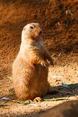 stock photo of groundhog day  - Prairie closely waiting what happen in sand - JPG