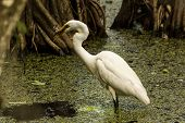 picture of swamps  - A great egret eating a fish in a swamp. Corkscrew Swamp Sanctuary, Naples, FL, USA.