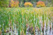 picture of bulrushes  - Bulrush waving in the wind in autumn - JPG