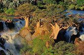 stock photo of baobab  - Baobab trees at sunset in the Epupa waterfalls in Namibia - JPG