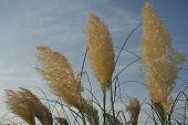 picture of pampas grass  - Light golden colored pampas grass  - JPG