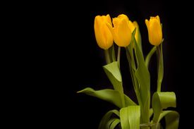 stock photo of yellow  - Bouquet of yellow tulips on a dark background - JPG