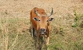 image of female buffalo  - Cow on a field eating a dry grass in thailand - JPG