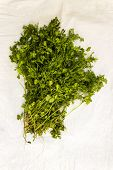 image of chinese parsley  - Freshly plucked Cilantro  - JPG