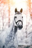 picture of beautiful horses  - Portrait of a gray sports horse in the winter at sunset - JPG