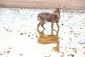 picture of bambi  - Deer walk on water in the zoo - JPG