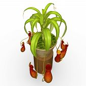 picture of carnivores  - insectivorous plant  - JPG