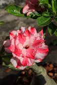 foto of desert-rose  - Tropical pink flower Desert rose  - JPG