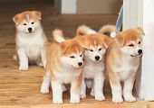 stock photo of mustering  - Four two months old puppies of Japanese akita-inu breed dog