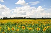 foto of sunflower  - Sunflower fields as far as the eye in Thailand - JPG