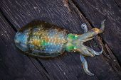 picture of squid  - Live Squid catched from the sea at Talu Island Prajuabkirikan Thailand - JPG