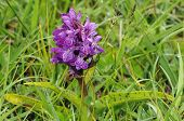 stock photo of marshes  - Northern Marsh Orchid - Dactylorhiza purpurella cambrensis