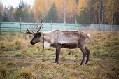 foto of caribou  - Reindeer in the paddock on the farm