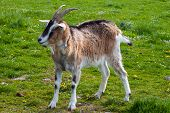 stock photo of billy goat  - A goat standing a field on a sunny day - JPG
