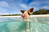 pic of piglet  - Little piglet in a water at beach on Exuma Bahamas - JPG
