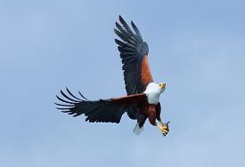 pic of fish-eagle  - Fish Eagle carrying catched fish in its feet