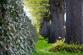 foto of row trees  - ivy wall and a row of big old tree trunks dark gray and fresh green selected focus narrow depth of field ** Note: Shallow depth of field ** Note: Visible grain at 100%, best at smaller sizes - JPG