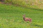 pic of buck  - beautiful wild roe deer buck  - JPG