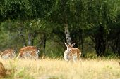 stock photo of deer family  - fallow deer doe in a clearing looking towards the camera  - JPG
