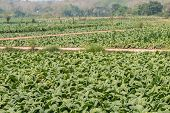 picture of tobacco leaf  - leaf Tobacco farmers and producers in Thailand - JPG