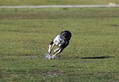 stock photo of mud  - A whippet splashing the wet grass and mud while running in the park