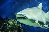 stock photo of animal teeth  - Shark - JPG