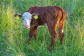 foto of calf  - A calf standing in high green grass - JPG