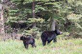 stock photo of bear cub  - Black bear and her cub in a field  - JPG