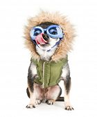 stock photo of applehead  - a chihuahua with a furry coat and goggle on isolated on a white background with his tongue licking his nose - JPG