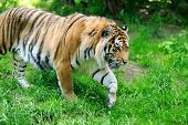 picture of tigress  - Amur Tigers on a geass in summer day - JPG