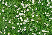 stock photo of grass area  - Spring green grass texture with white small flowers - JPG