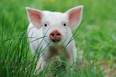 pic of piglet  - Piglet on spring green grass on a farm - JPG