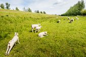stock photo of spring lambs  - Lamb extends after resting in the meadow beside the dike on a cloudy day in the spring season - JPG