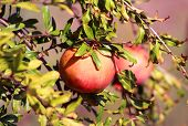 picture of sukkot  - Branch with ripe pomegranates in the autumn