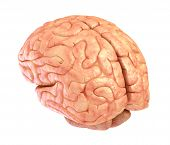 foto of pon  - Human brain model isolated on a white background - JPG