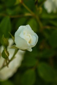 image of garden eden  - White roses on the bush in the summer garden - JPG