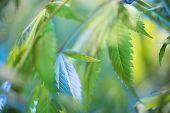 Marijuana Flowering Buds ( Cannabis), Hemp Plant. Very Large Indoor Weed Harvest. poster