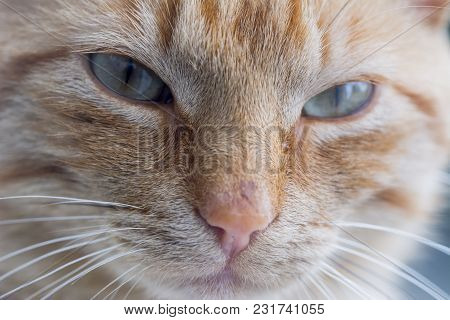 poster of Brown Cat Looking Straight To Camera, ,domestic Cat, Relaxing Cat, Emotional Eyed Cats, Eye Cat