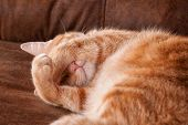 Ginger tabby cat asleep, with his paws covering his eyes poster