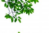Top View A Tropical Green Leaves With Branch For Foliage Isolated Background poster