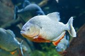 picture of piranha  - Closeup underwater image of a Red piranha - JPG