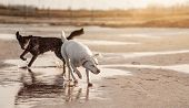Two Happy Dogs Running And Playing Together On The Beach With Ball - Australian Shepherd And Labrado poster