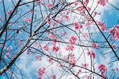 Royalty High Quality Free Stock Image Of Cherry Blossom Sakura (prunus Cesacoides, Wild Himalayan Ch poster